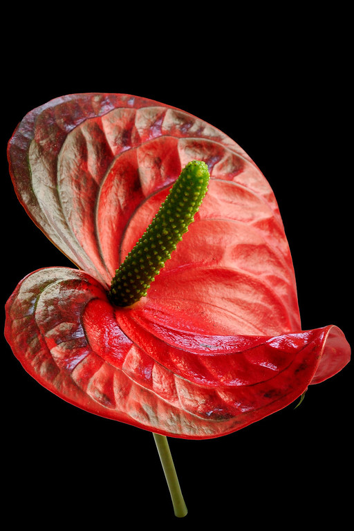 Flamingo Flower or Anthurium
